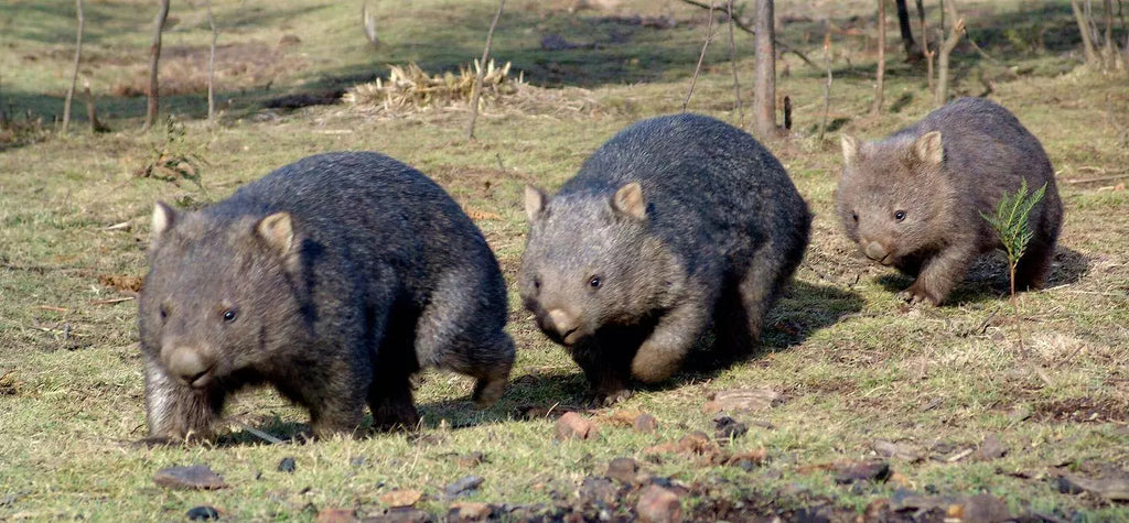 Tasmanian Wildlife Tours