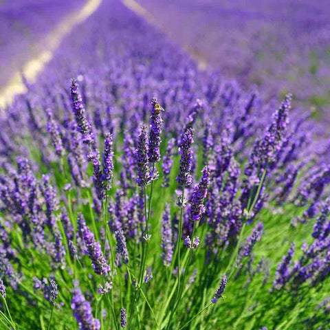 Lavender Angustifolia crops in France