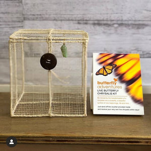 PRE-ORDER MID TO LATE OCTOBER ONWARDS | Butterfly Chrysalis Kit