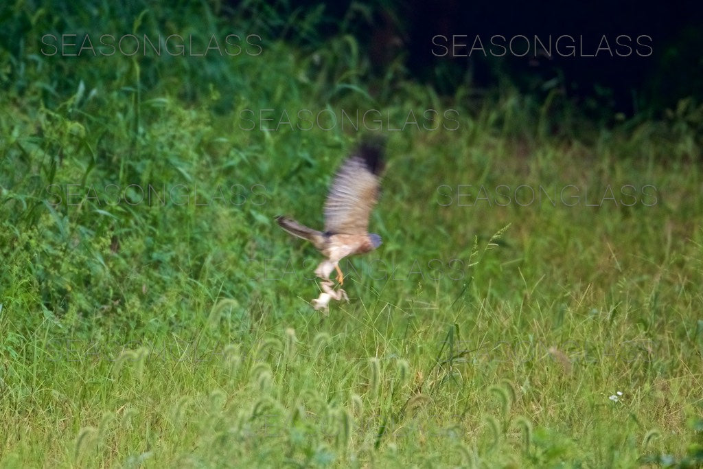 Chinese Sparrowhawk with Frog