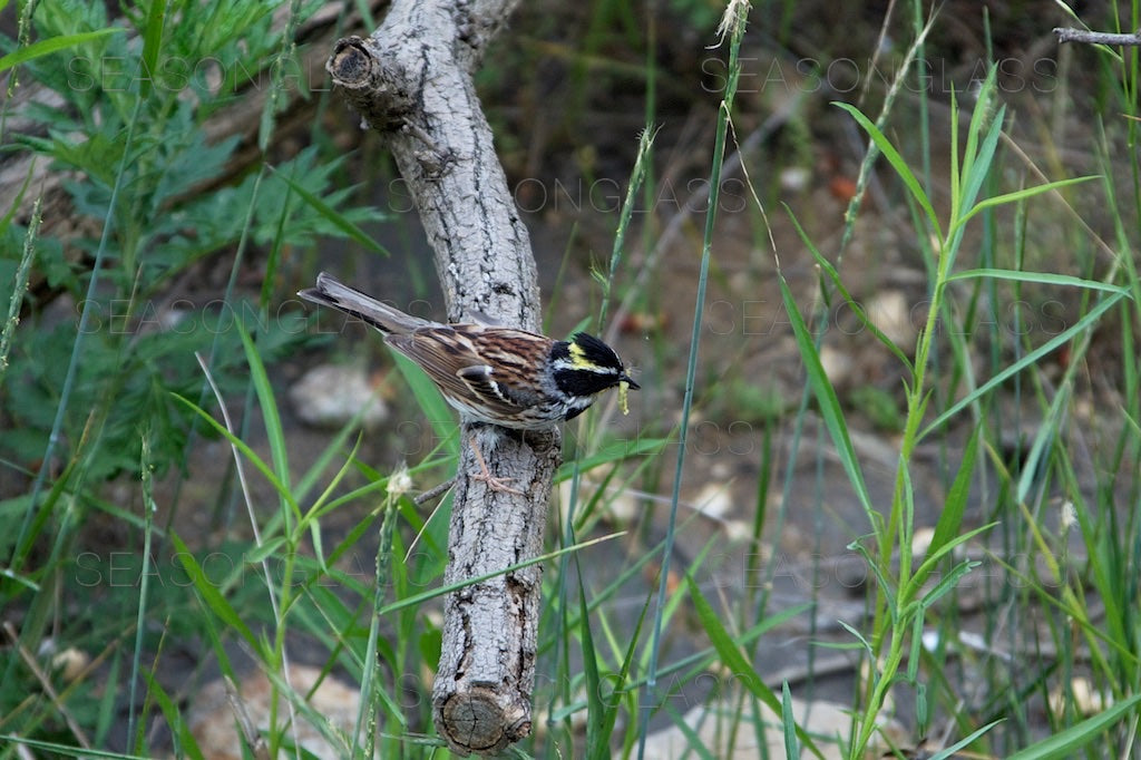 Yellow-throated Bunting with Insect