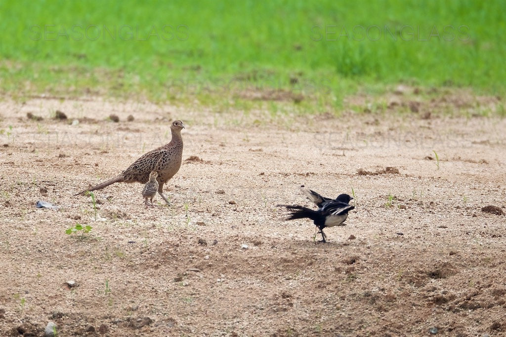 Pheasants and Magpie