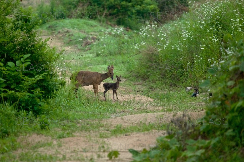 Water Deer and Magpies