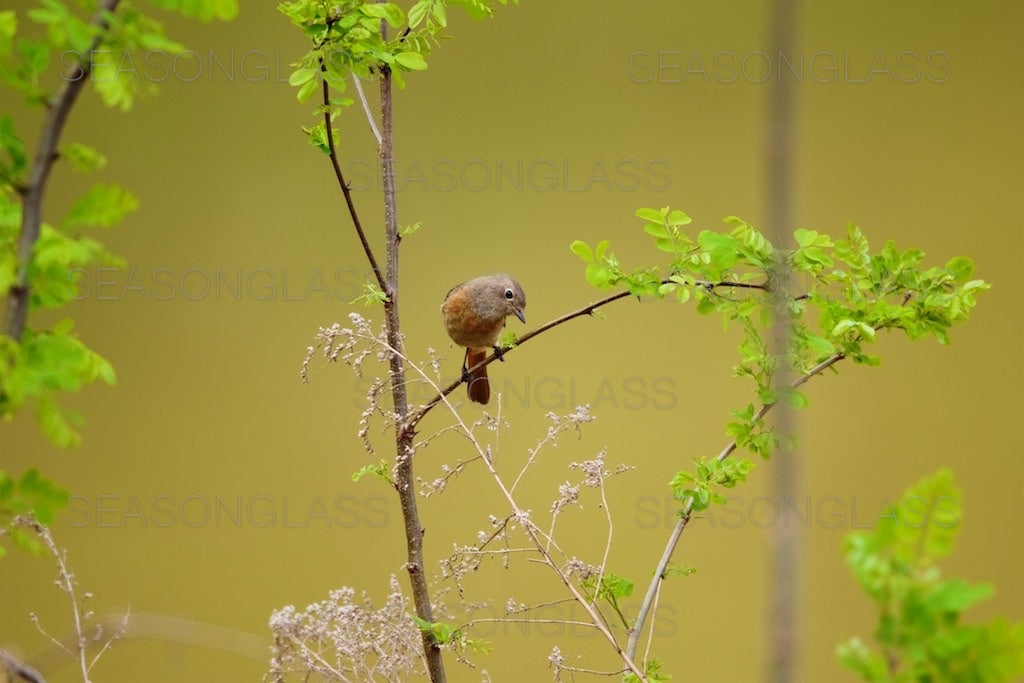 Female Daurian Redstart
