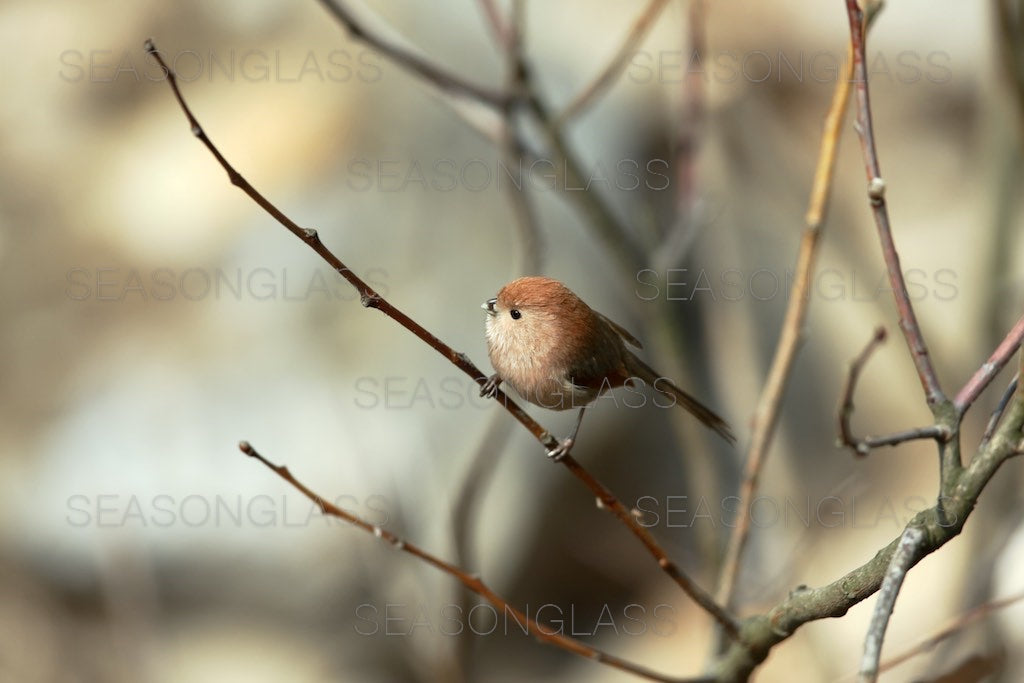 Vinous-throated Parrotbill