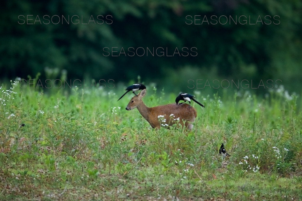 Magpies and Water Deer
