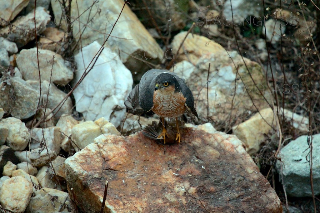 Northern Sparrowhawk with Vinous-throated Parrotbill