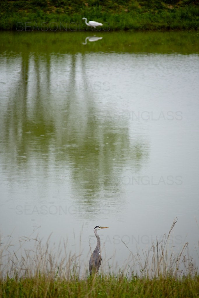 Grey Heron and Egret