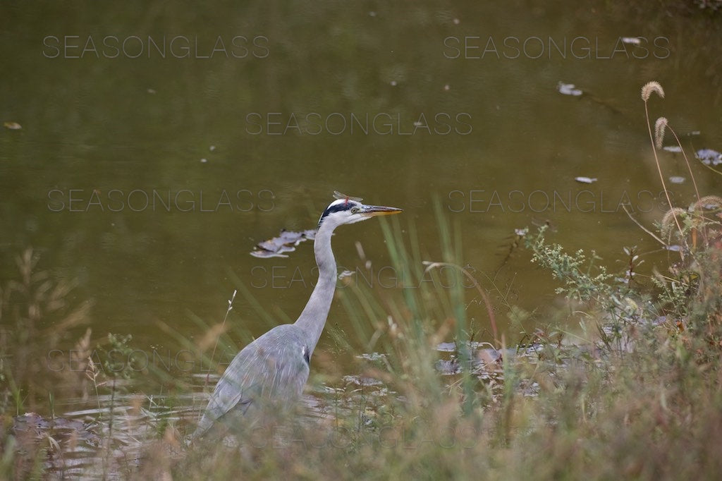 Grey Heron with Dragonfly