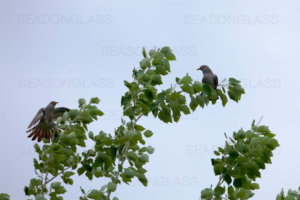 Common Cuckoos