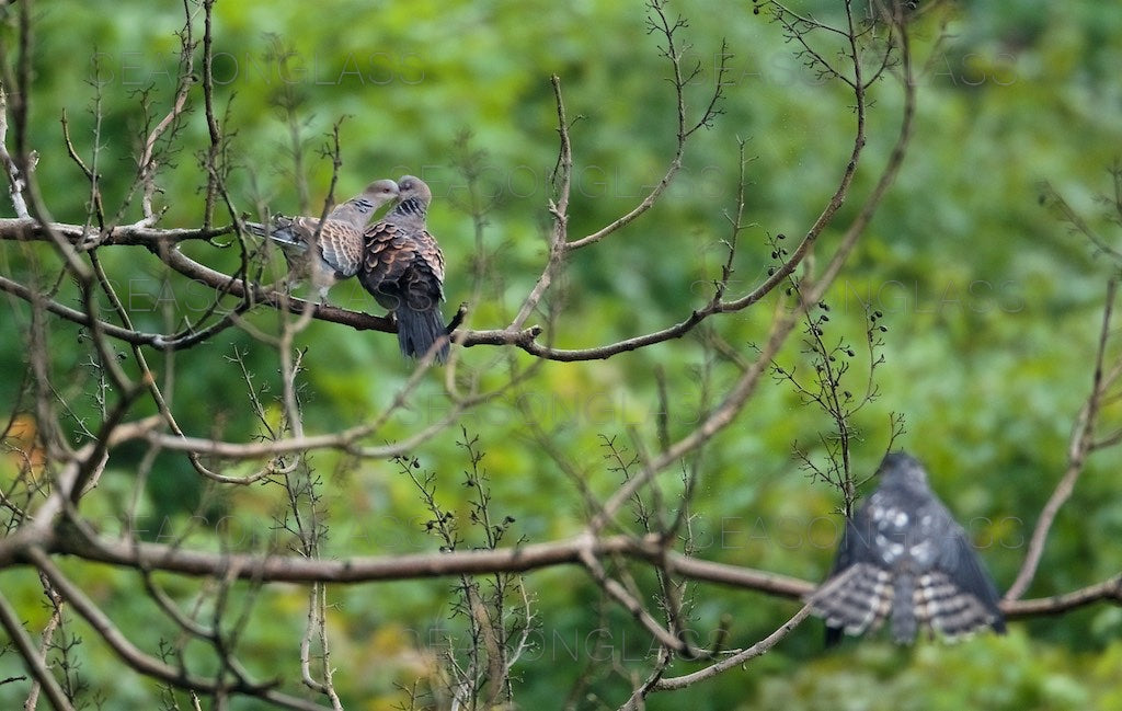 Turtledoves and Chinese Sparrowhawk