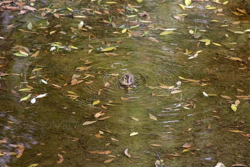 Spot-billed Duckling