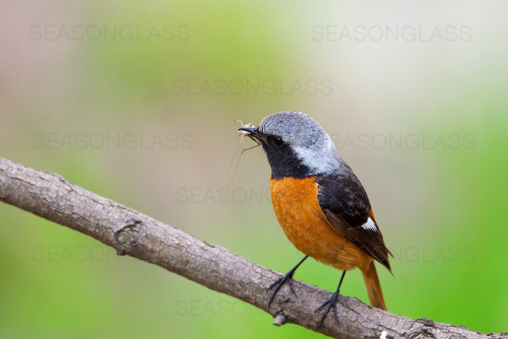 Male Daurian Redstart with Insect