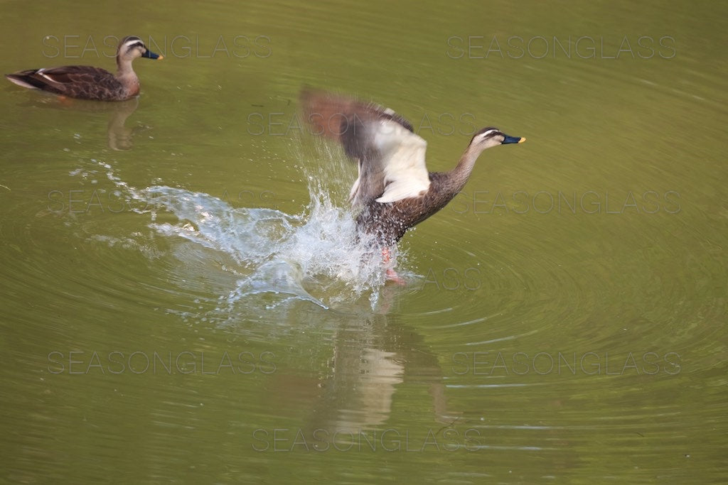 Spot-billed Ducks
