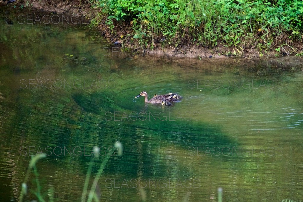 Family of Spot-billed Ducks