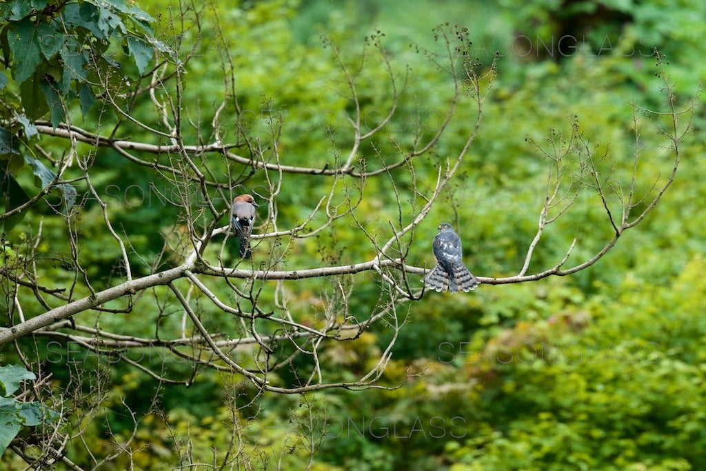Chinese Sparrowhawk and Eurasian Jay