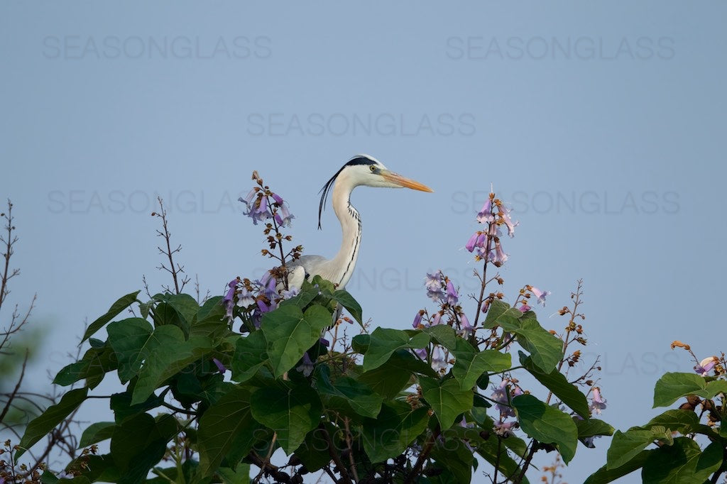 Grey Heron on Paulownia Tree