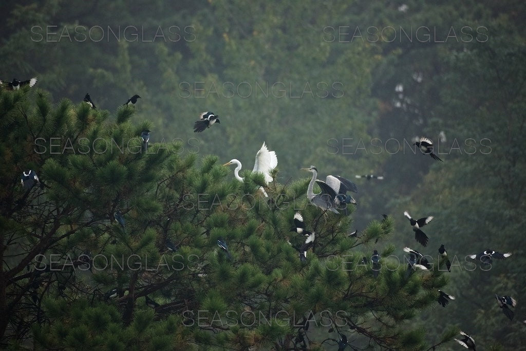 Magpies Harassing Egret and Grey Heron