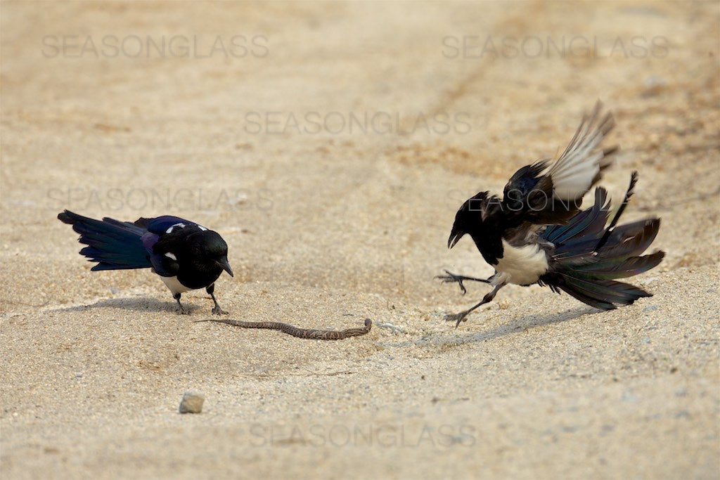 Magpies and Korean Rat Snake