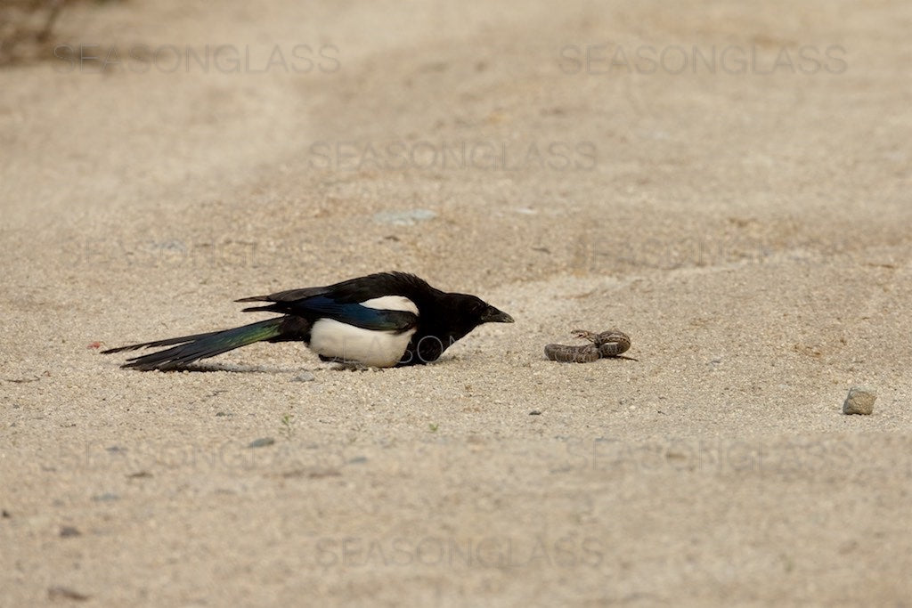 Magpie and Korean Rat Snake