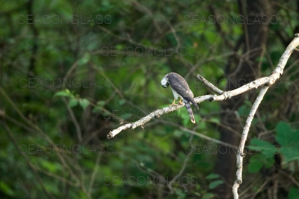 Chinese Sparrowhawk and Dragonfly