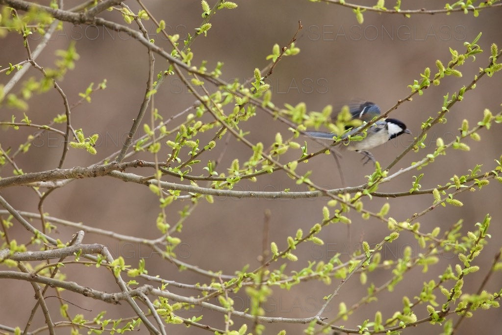 Great Tit on Willow Tree