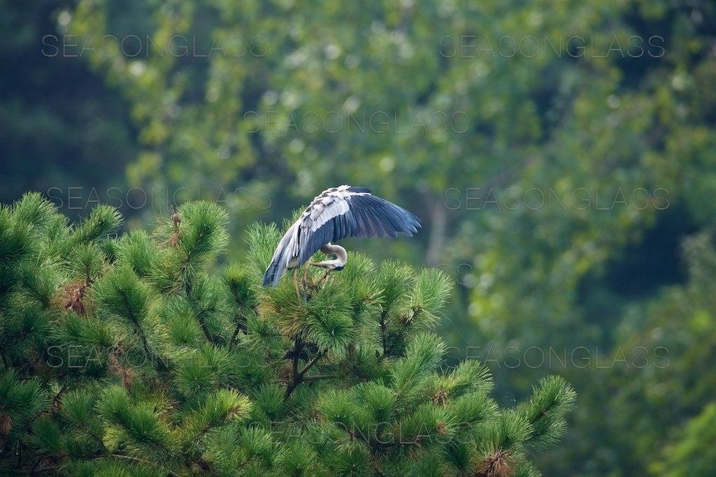 Grey Heron on Pine Tree