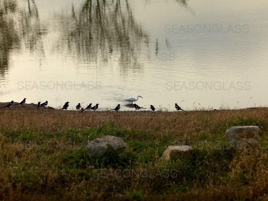 Magpies and Egret