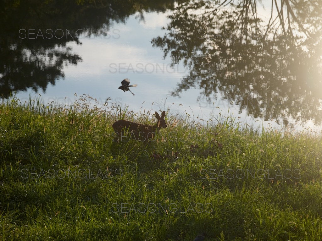 Water Deer and Magpie