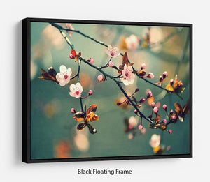 Beautiful flowering Japanese cherry Floating Frame Canvas