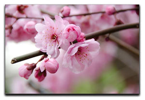 Broken blooming cherry branch Canvas Print or Poster  - Canvas Art Rocks - 1