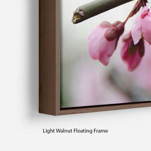 Broken blooming cherry branch Floating Frame Canvas