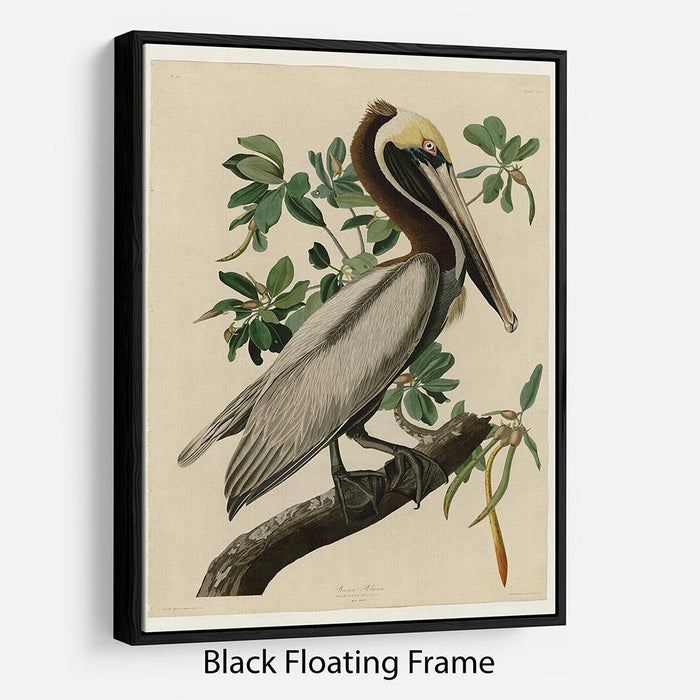 Brown Pelican 2 by Audubon Floating Frame Canvas