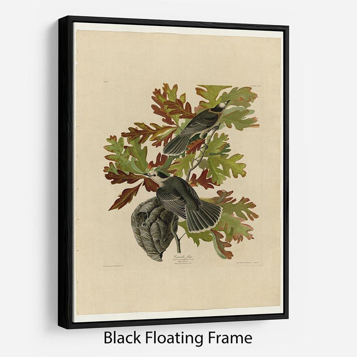 Canada Jay by Audubon Floating Frame Canvas