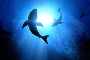 Circle two great white sharks Wall Mural Wallpaper - Canvas Art Rocks - 1