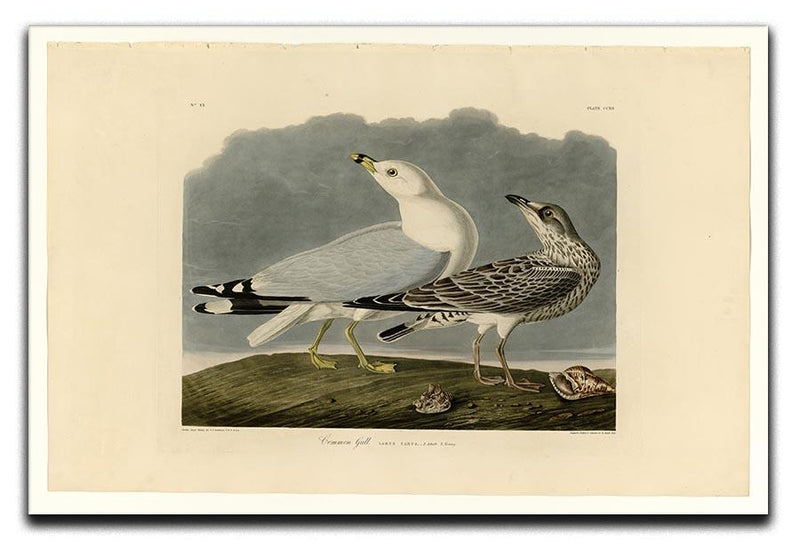 Common Gull by Audubon Canvas Print or Poster - Canvas Art Rocks - 1