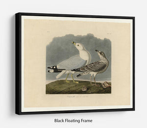 Common Gull by Audubon Floating Frame Canvas - Canvas Art Rocks - 1