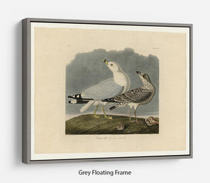 Common Gull by Audubon Floating Frame Canvas - Canvas Art Rocks - 3