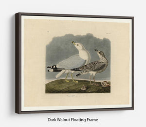 Common Gull by Audubon Floating Frame Canvas - Canvas Art Rocks - 5