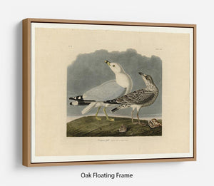 Common Gull by Audubon Floating Frame Canvas - Canvas Art Rocks - 9
