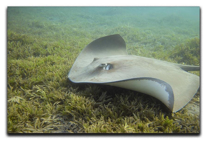 Darkspotted stingray Canvas Print or Poster