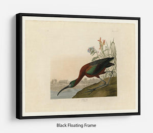Glossy Ibis by Audubon Floating Frame Canvas - Canvas Art Rocks - 1