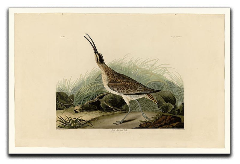 Great Esquimaux Curlew by Audubon Canvas Print or Poster - Canvas Art Rocks - 1
