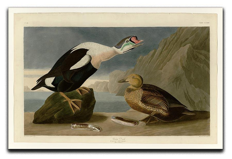 King Duck by Audubon Canvas Print or Poster - Canvas Art Rocks - 1