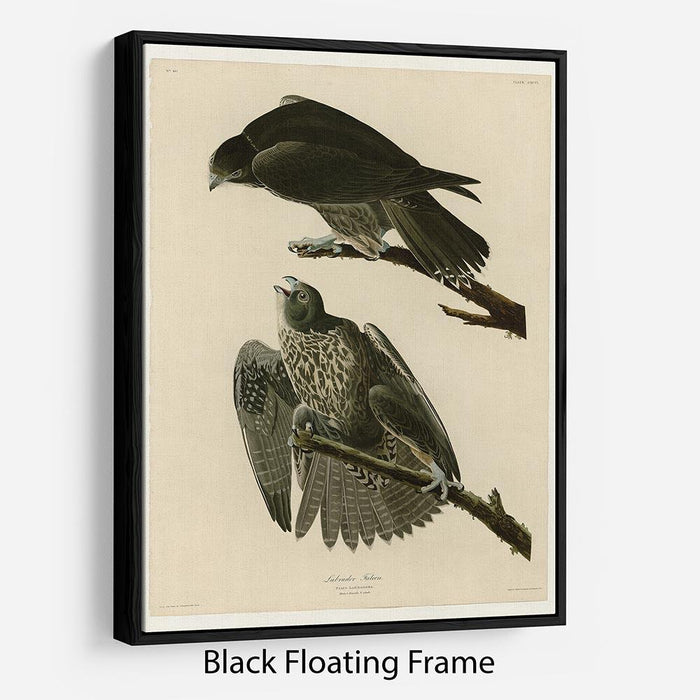 Labrador Falcon by Audubon Floating Frame Canvas