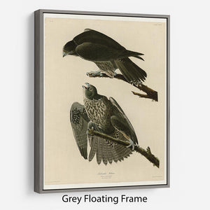 Labrador Falcon by Audubon Floating Frame Canvas - Canvas Art Rocks - 3