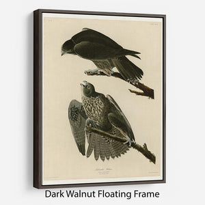Labrador Falcon by Audubon Floating Frame Canvas - Canvas Art Rocks - 5