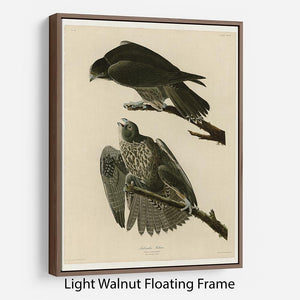 Labrador Falcon by Audubon Floating Frame Canvas - Canvas Art Rocks 7