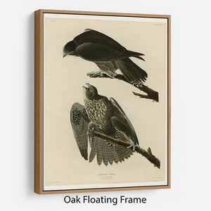 Labrador Falcon by Audubon Floating Frame Canvas - Canvas Art Rocks - 9