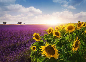 Lavender and sunflowers fields Wall Mural Wallpaper - Canvas Art Rocks - 1